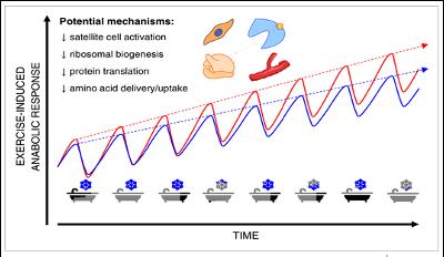 anabolic response